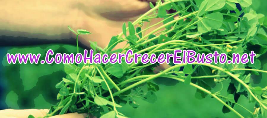 alfalfa para hacer crecer el busto